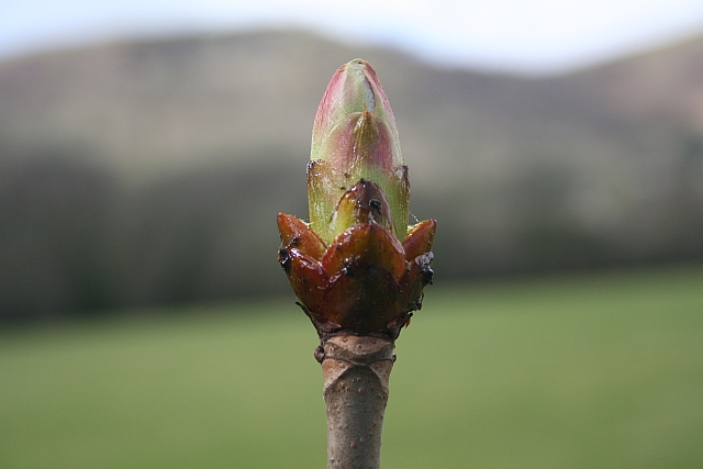 Horse Chestnut Emerging