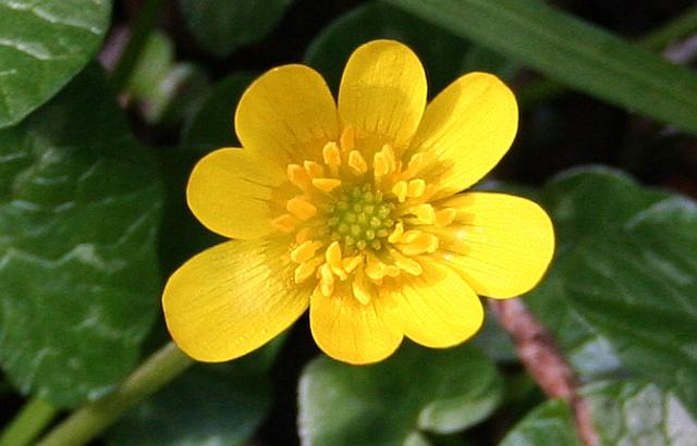 Celandine in Flower