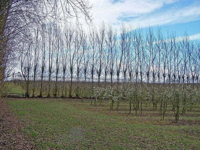 Poplars between orchards