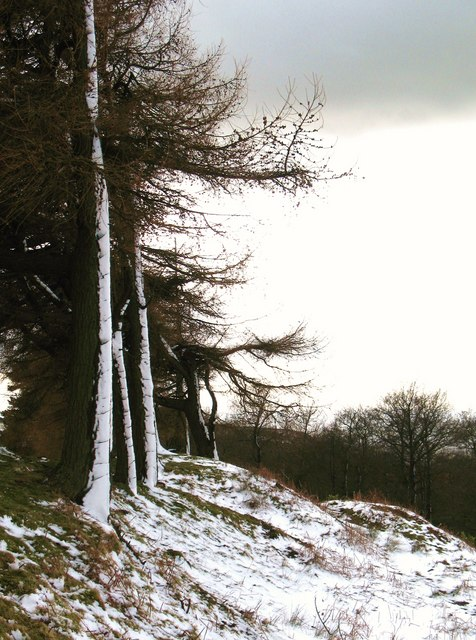 Larches at the moor edge