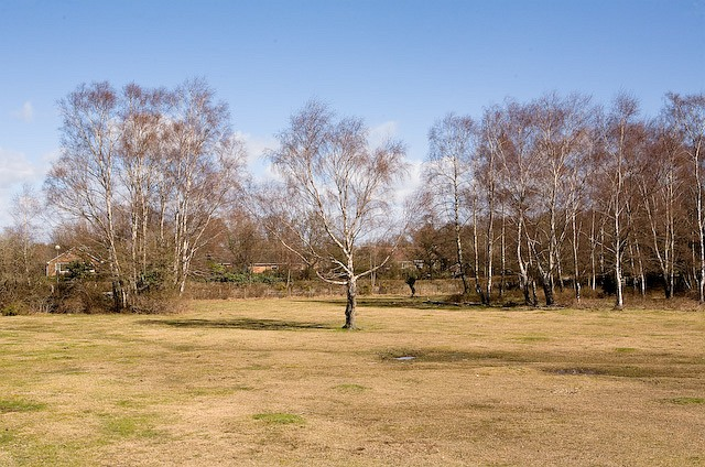 Silver Birches on West Wellow Common