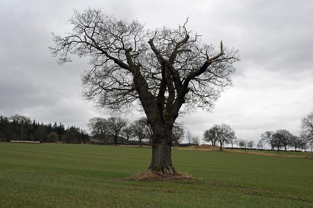 Lone Tree on Farmland