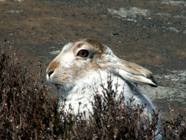 A Mountain Hare (Lepus timidus)
