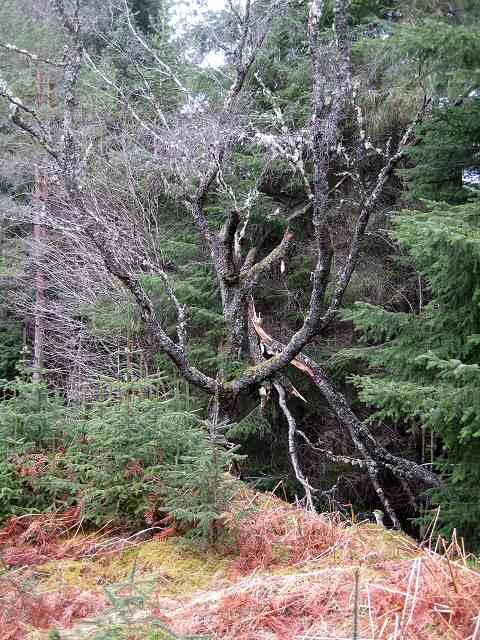 Dead tree in Rannoch Forest