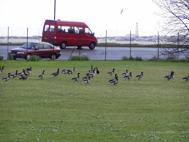 Brent geese on Portsmouth College fields