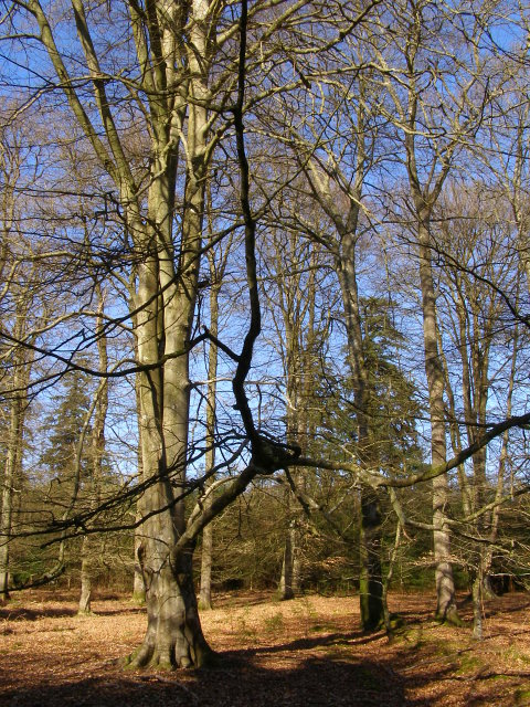 Beech trees, Blackensford Lawn, New Forest