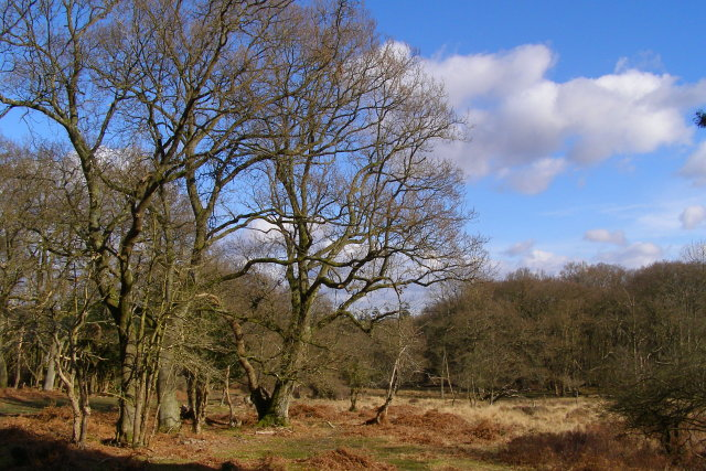 Trees in Stinking Edge Wood, New Forest