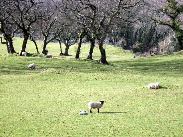 Sheep and  lambs, Cwm Gwaun