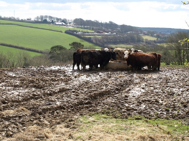 Cattle at Hendra