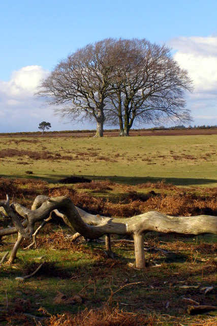 Trees, Backley Holmes, New Forest