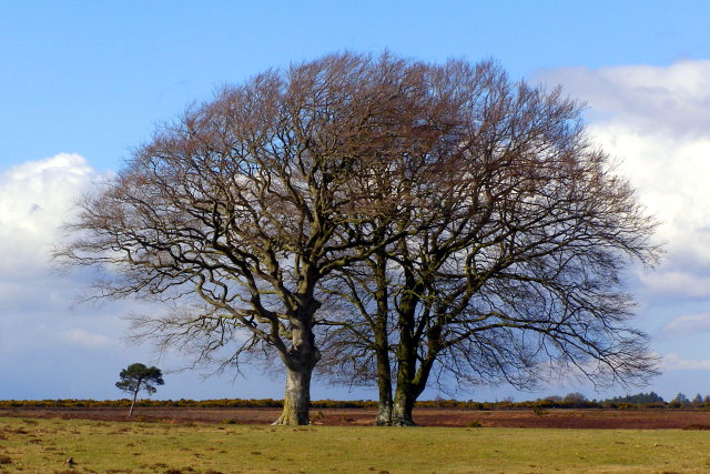 Wind-sculpted trees, Backley Holmes, New Forest