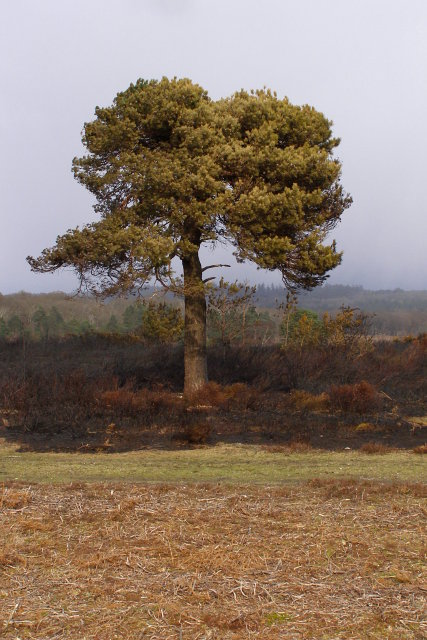 Scorched Scots pine, near Soarley Beeches, New Forest