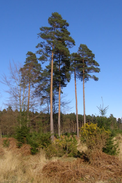 Isolated pines in South Oakley Inclosure, New Forest