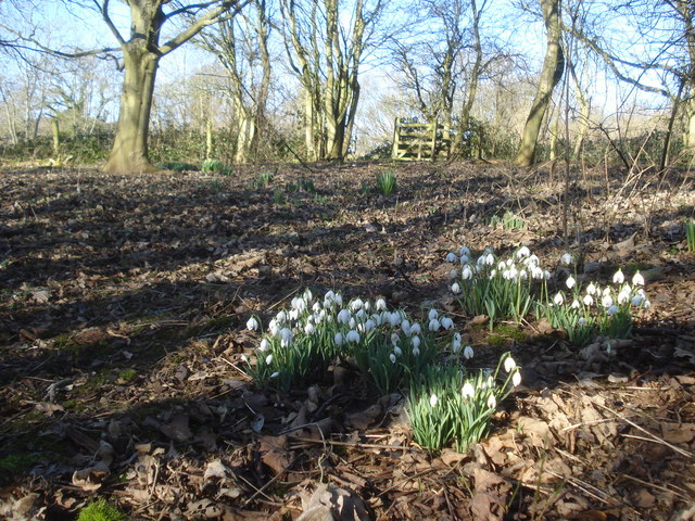 Snowdrops on the lower slopes of Chase End Hill
