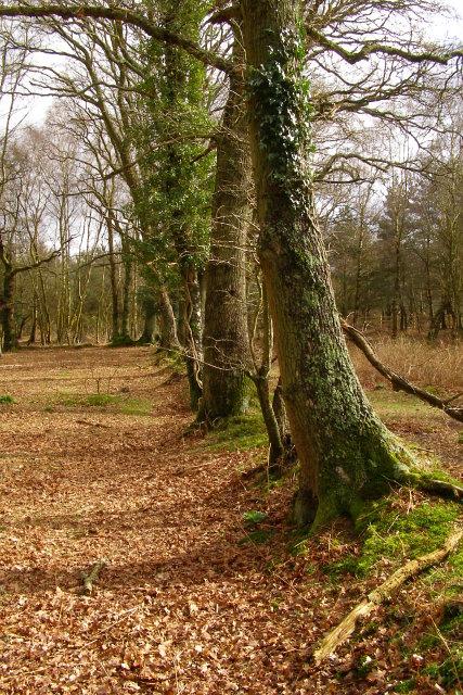 Oak trees on enclosure bank, Copythorne Common