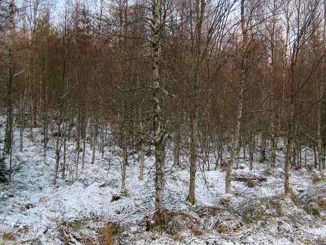 Silver birches in snow