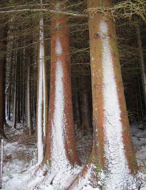Snow on tree trunks