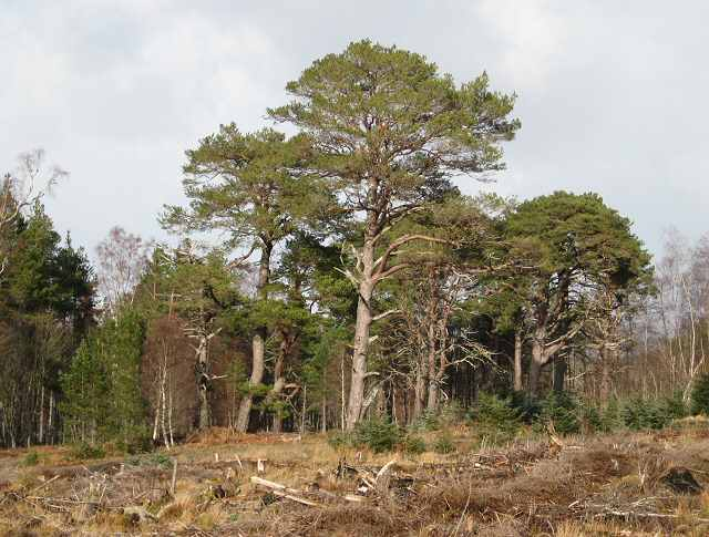 Pines in Rannoch forest