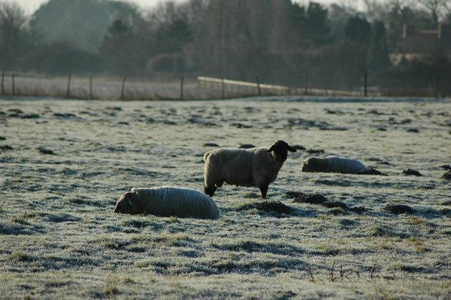 Sheep in field to Southeast of Back Lane Fangfoss