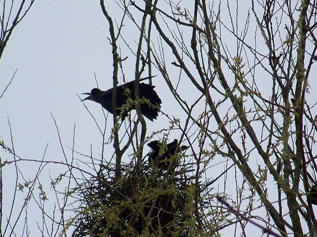 Rooks in the Rookery, Bishopstone