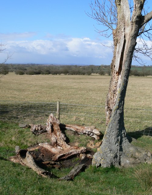 Dead tree along Arnesby Lane