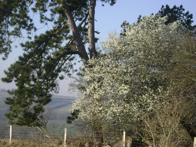 Blossom near Woodford