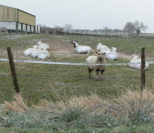 Snow covered sheep