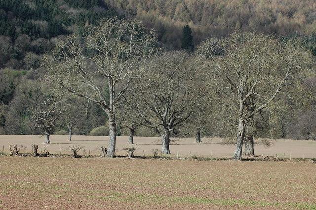 Oak trees near Hadnock Court