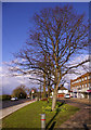 TQ2996 : Lime Trees, Bramley Parade, London N14 by Christine Matthews