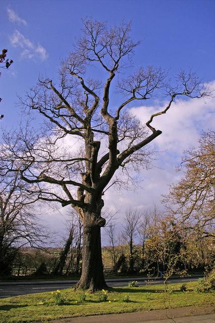 Large Oak Tree, Bramley Road, Enfield