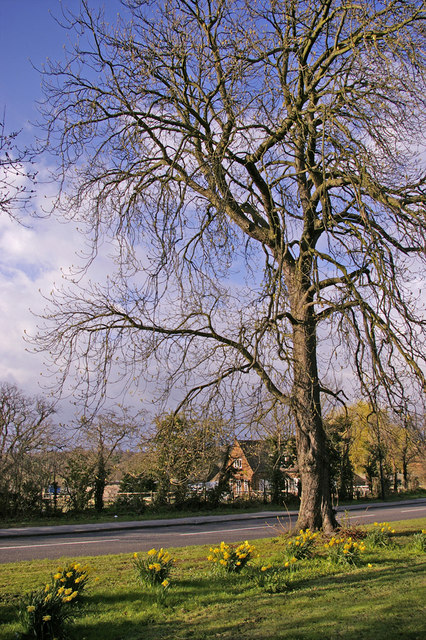 Large Horse Chestnut Tree between Cycle Track and Bramley Road, Enfield