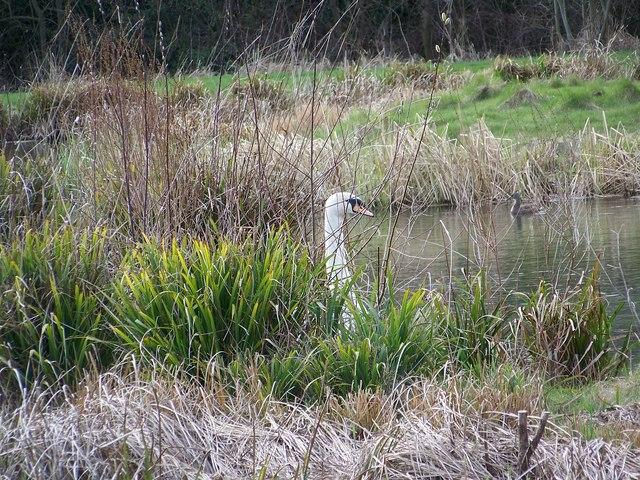 Wildfowl, Bishopstone Fishing Lake