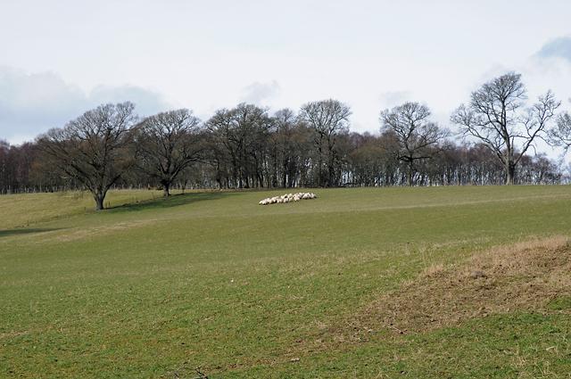 Farmland and Sheep