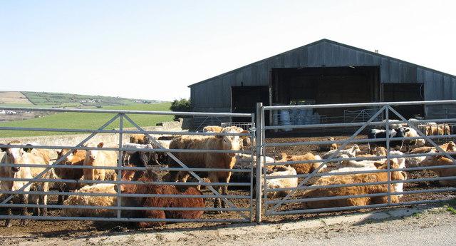 Cattle in the yard of Maen Dryw Farm
