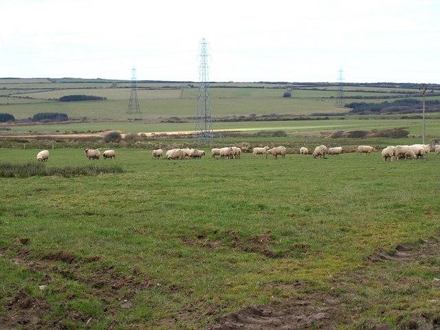 Sheep near Starapark