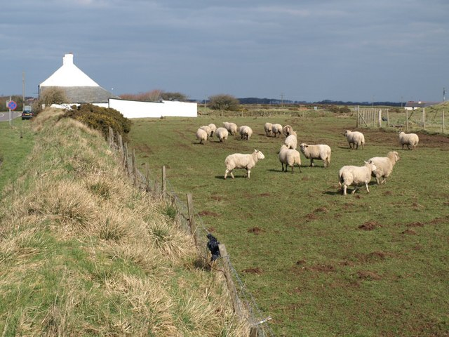 Sheep at Nettings Park