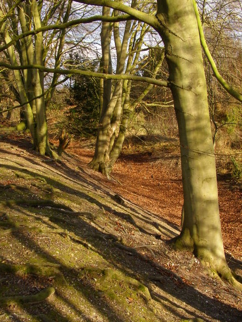 Outer earthworks and beech trees, Danebury hillfort