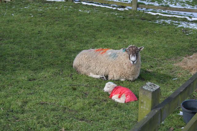 Ewe and lamb, Winterburn