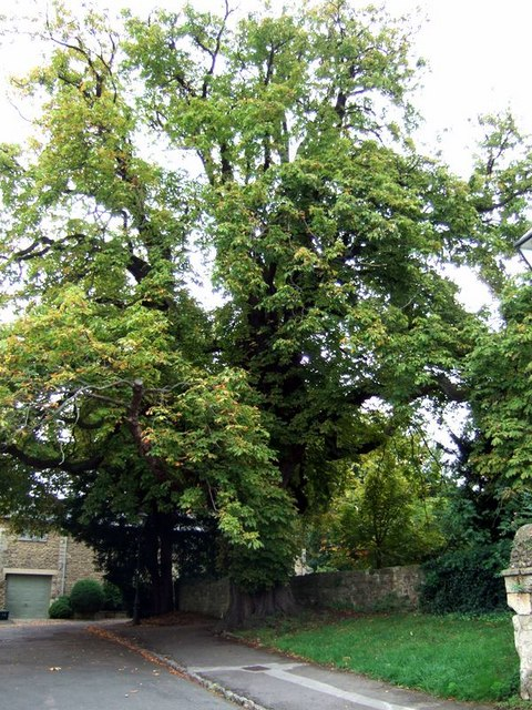 Iffley church horse chestnut tree