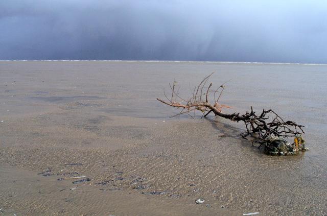 Uprooted shrub on Theddlethorpe beach