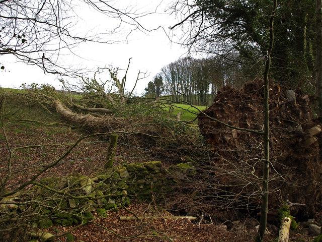 Fallen tree in Kilsture Forest