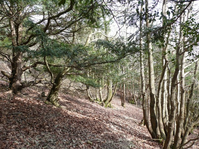 Yews and coppice trees, Arnside Park, Arnside
