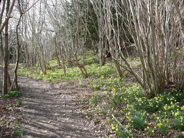 Daffodils, Arnside Park, Arnside
