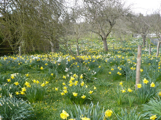 An amazing display of daffodils by The Street on the west side of Doddington
