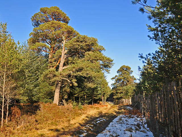 Scots Pines beside the track in Torlum Wood