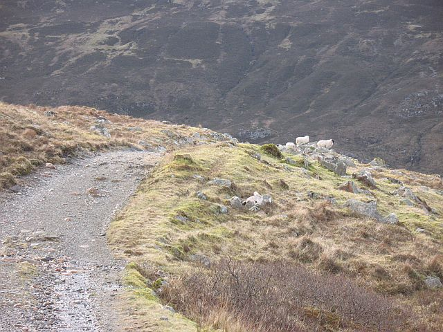 Sheep beside the Military Road