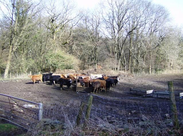 Cows at Llanbradach Fawr