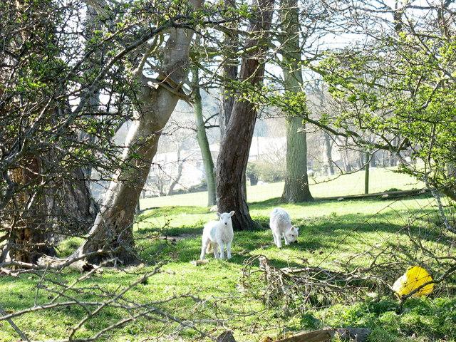 Lambs at Bryn Fuches Farm