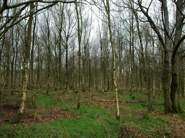 Birch Trees in New Copse