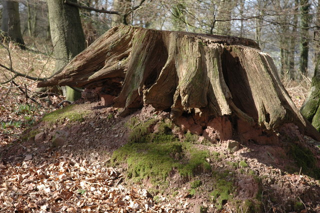 Old tree stump, Beaulieu Wood